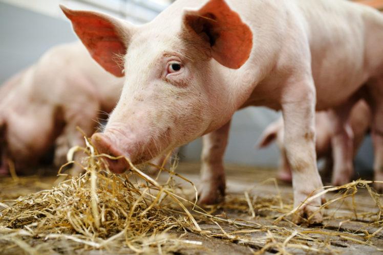 Schwein im Schweinestall Initiative Tierwohl