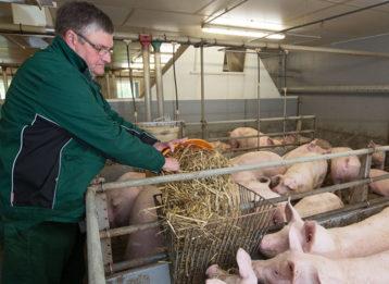 Schweinemast Initiative Tierwohl