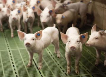 Ferkel Aufzucht Initiative Tierwohl