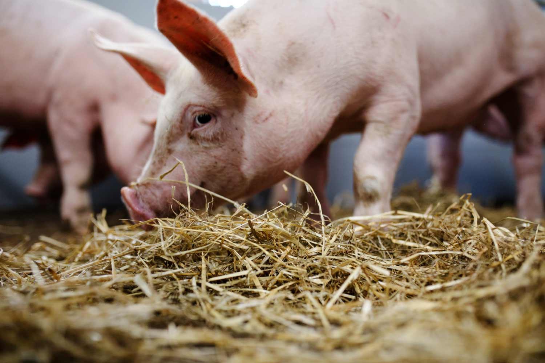 Schwein im Schweinestall
