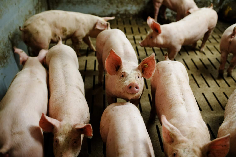 Schweine im Schweinestall