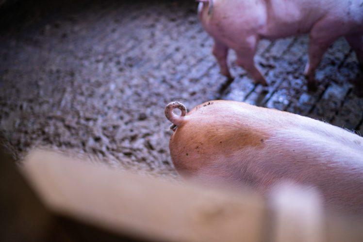Christoph Beckers Schweinezucht