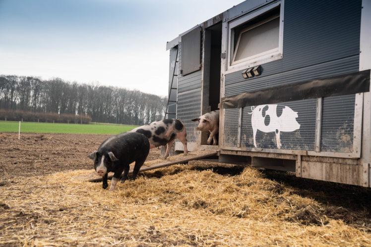 Peer Sachteleben, Schweinezucht