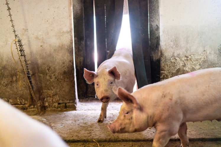 Heinz Hackmann, Schweinezucht