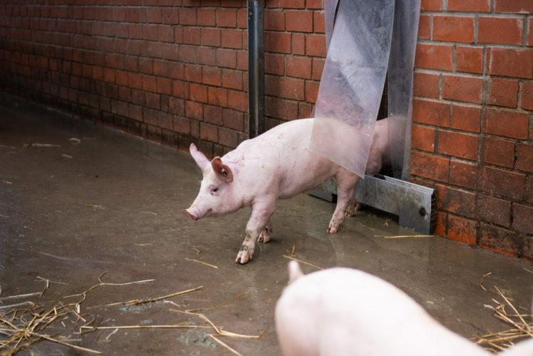 Schweine Hof Moerixmann