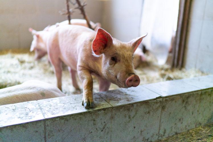 Schweinezucht Moerixmann