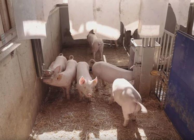 Land in Sicht Videosequenz: Schweine in einer gut ausgestatteten Bucht