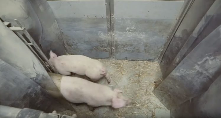 Durchgang Innen- Außenbereich Schweinehaltung