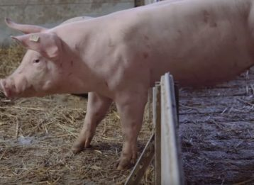 Schweinehaltung auf Stroh- und Spaltenboden