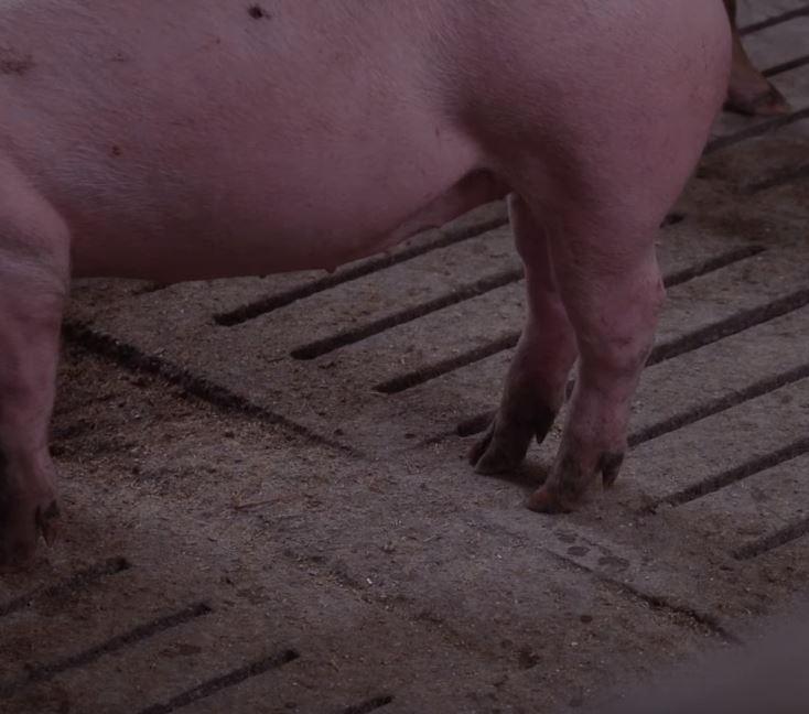 Nahaufnahme Schweinehuf auf Spaltenboden
