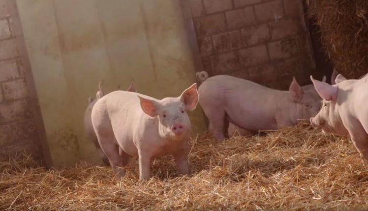 Schwein auf Stroh