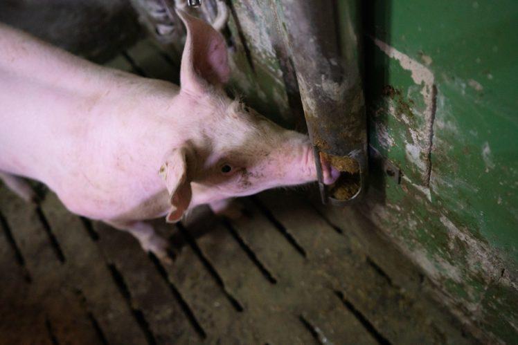 Schwein betätigt Schweinebuzzer