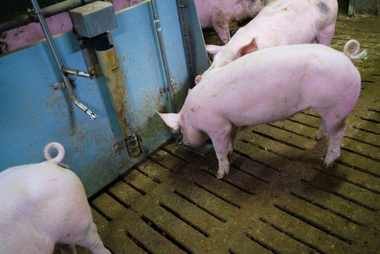 Schweine saufen aus Bodentränke