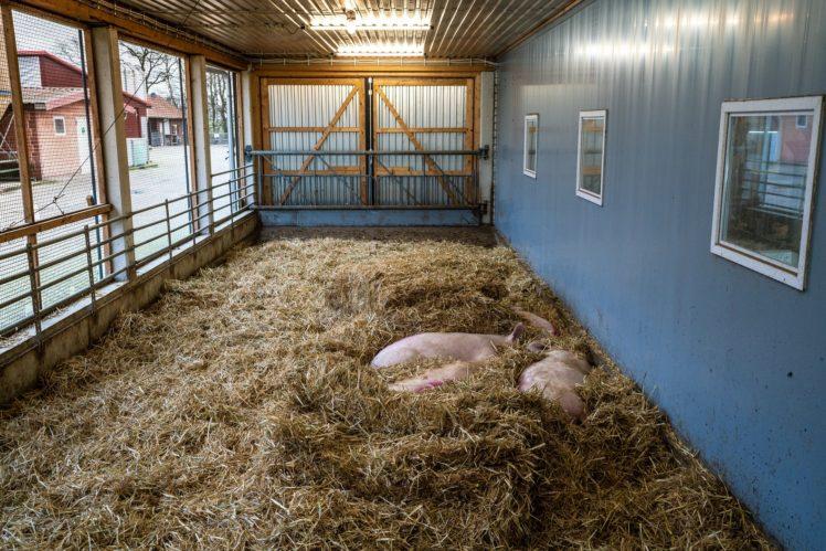 Außenbereich für Sauen auf dem Betrieb von Kerstin und Torsten Deye, Gewinner Innovationspreis 2020