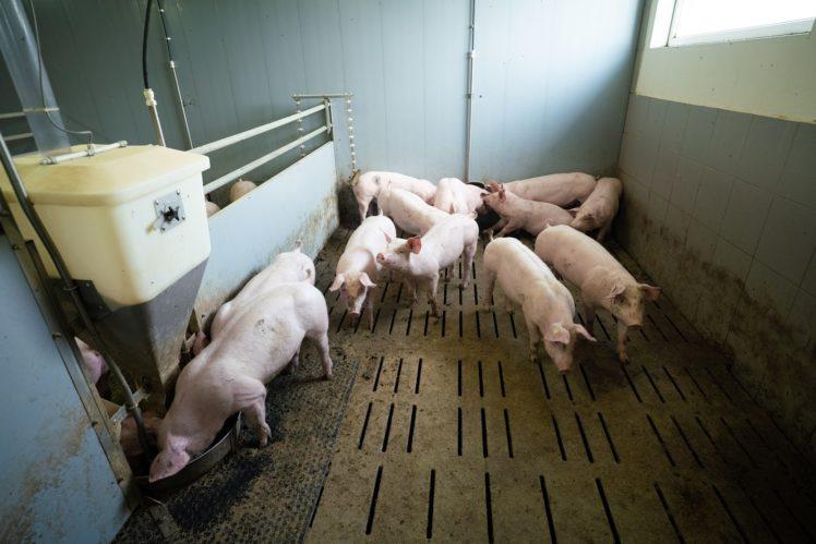 Schweine in Bucht